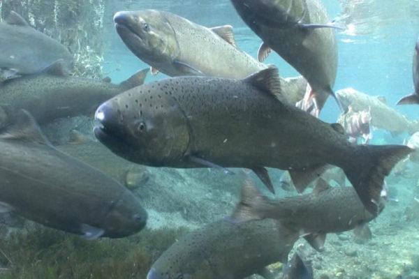 Photo Credit: NOAA Fisheries